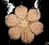 Truskawkowa truskawka